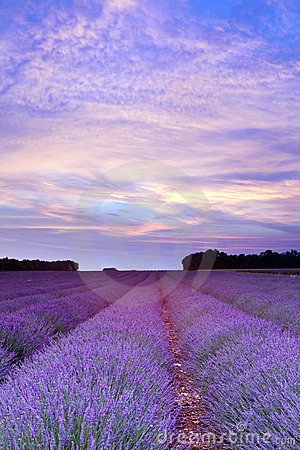 Free Provence Lavender Sunset Royalty Free Stock Images - 18415959