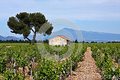 Provence s Vineyards