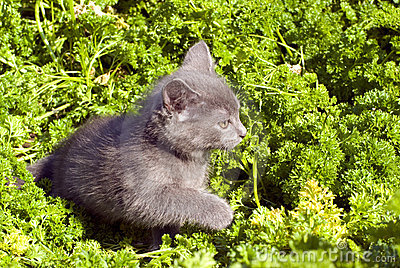 Prowling kitten on the grass