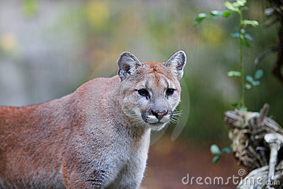 Prowling Mountain Lion