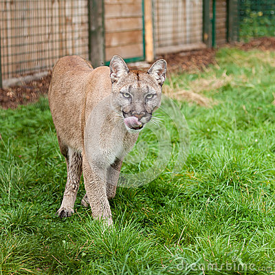 Prowling Puma Licking Lips in Enclosure