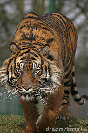Free Prowling Tiger Royalty Free Stock Images - 931039
