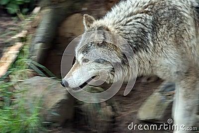 Prowling wolfe.