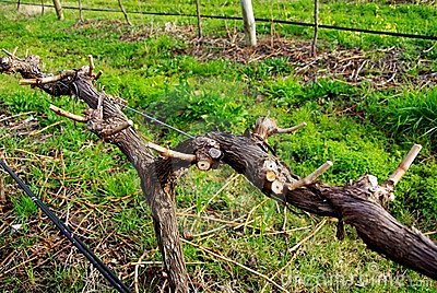 recently pruned grapevine at a McLaren Vale winery (South Australia ...
