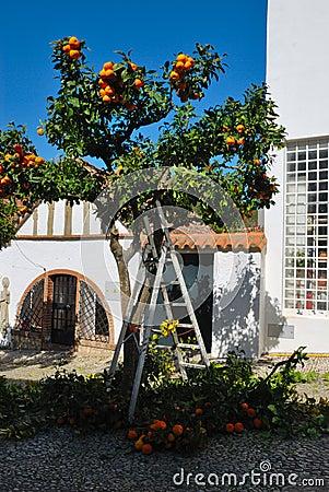 Pruning orange tree