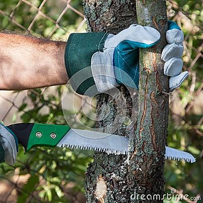 Free Pruning Tree Royalty Free Stock Photo - 33226705