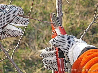 Pruning young fruit tree
