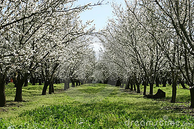 Prunus dulcis, flowering nonpareil almond tree bra
