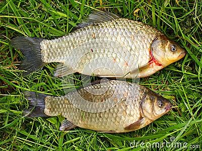 The prussian carp (Carassius auratus gibelio)..