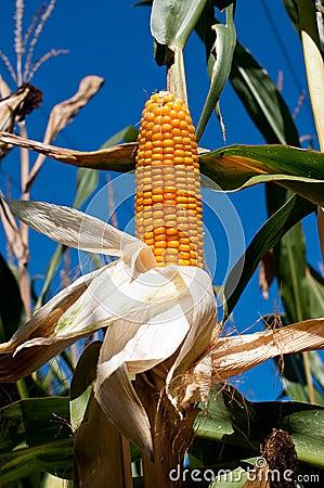 Przed żniwem kukurydzany badyl