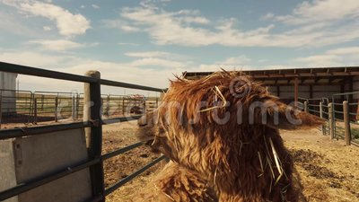 Przesuwanie nad brązowym alpaką w plamce zdjęcie wideo