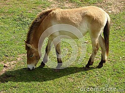 Przewalski Horse Cropping Grass 1