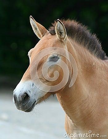 Free Przewalski´s Horse Stock Photography - 1062682