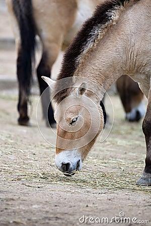 Free Przewalski S Horse Stock Photography - 19073782