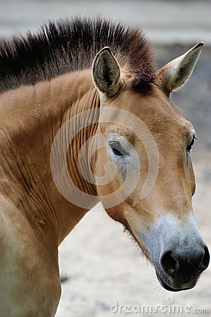 Free Przewalski S Horse Royalty Free Stock Photos - 25976708