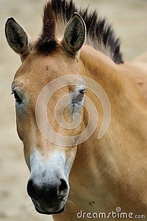 Free Przewalski S Horse Royalty Free Stock Image - 25976736