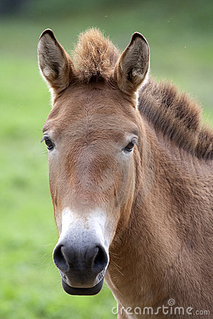 Free Przewalski S Horse (Equus Ferus Przewalskii) Royalty Free Stock Photo - 10271505