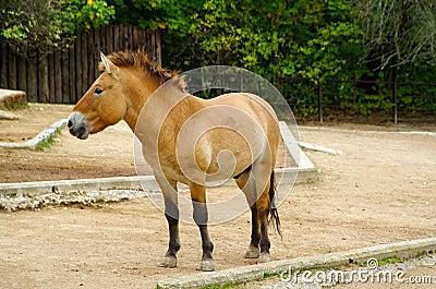 Przewalski s Horse, friendly animals at the Prague Zoo.