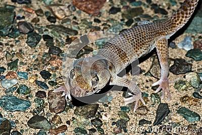 Przewalski s Wonder Gecko