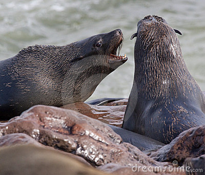 Przylądka futerkowe Namibia foki