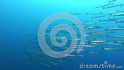 Przyroda podmorska - Wielka szkoła barrakudów pływających w czystej wodzie zbiory wideo