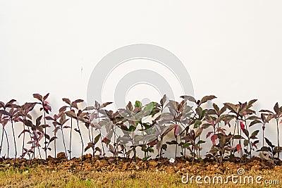 Pseuderanthemum kewense plants in a garden