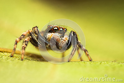 Pseudeuophrys jumping spider