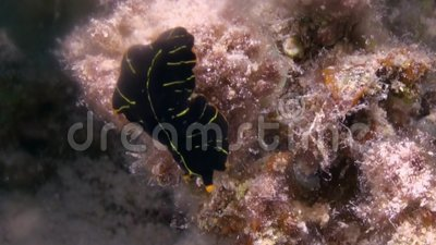 Pseudocerosdimidiatus, marine flatworm, in Rode overzees stock video
