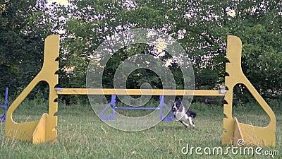 Psi Border collie skacze przez kolorowych barier po środku zielonej łąki dziewczyna treser wolny zbiory wideo