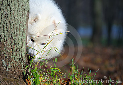 Psi samoyed
