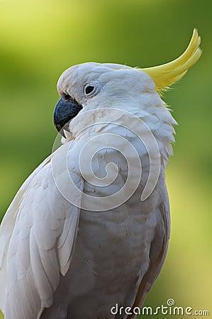 Pássaro do Cacatua no foco