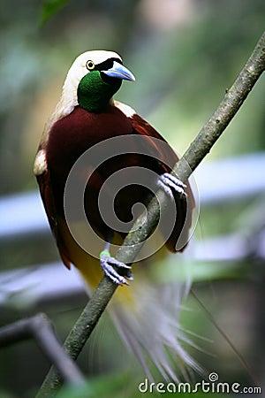 Pássaro--paraíso vermelho