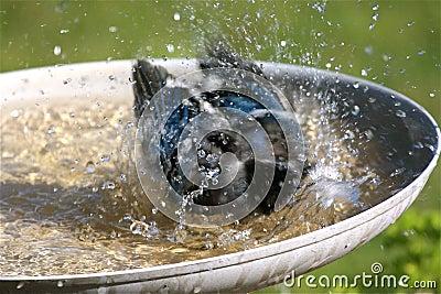 Pássaro que toma um banho
