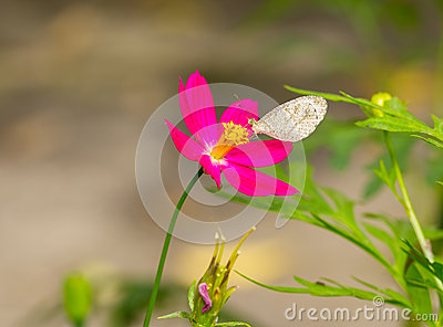 Psyche butterfly feeding on cosmos flower