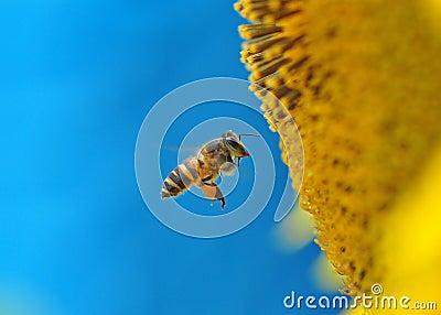Pszczoła i słonecznik