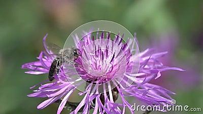 Pszczoła lata brązu knapweed kwiat, zwolnione tempo zbiory
