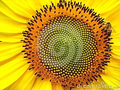 Pszczoła słonecznik