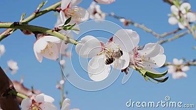 Pszczoła zapyla białego migdałowego kwiatu i latania daleko od, zbliżenie zbiory