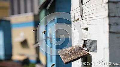 Pszczoły przynoszą nektar do ula dla miodu i plastrów miodu wiosną, ciepły słoneczny dzień, sezon, organiczny biznes zbiory