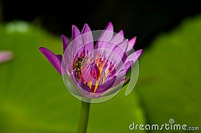 Pszczoła lilly