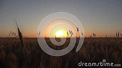 Pszenica w rolnictwie, Ucho w zachodzie słońca, Przemysł zbożowy w rolnictwie, zboża zdjęcie wideo
