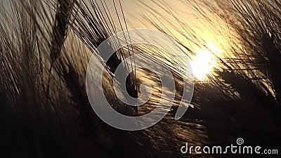 Pszenica w rolnictwie, Ucho w zachodzie słońca, Przemysł zbożowy w rolnictwie, zboża zbiory