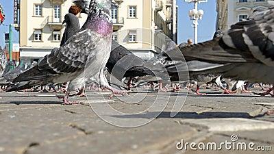 Ptaki i ludzie w Wiktoria Obciosują w Timisoara, Rumunia zdjęcie wideo