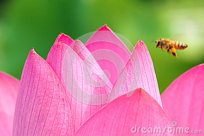 Pétale de Lotus