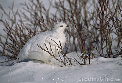 Ptarmigan in Willows