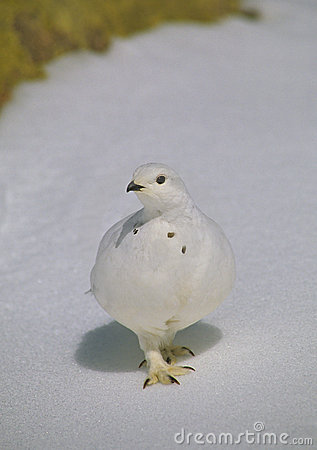 Ptarmigan in Winter Plummage