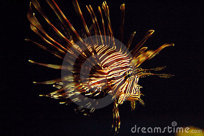 Pterois antennata  Ragged finned Firefish Lionfish