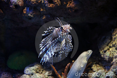 Pterois Volitans lionfishes