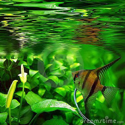 Free Pterophyllum Scalare Royalty Free Stock Photography - 7623037