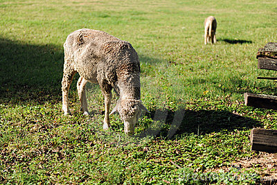 Pâturage de moutons et d agneau
